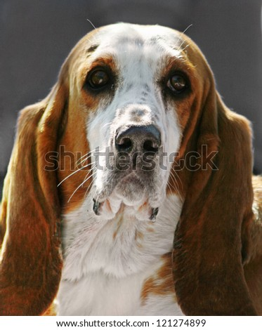 a basset hound - stock photo