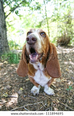 a basset hound barking or howling in a park - stock photo