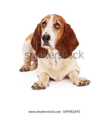 A Basset Hound dog laying down and looking up with a guilty expression - stock photo
