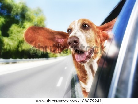 a basset hound in a car - stock photo
