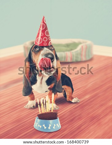 a basset hound licking birthday cake done in retro vintage style for a greeting card - stock photo