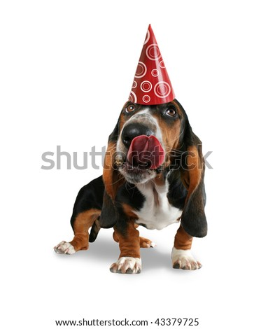 a basset hound licking his big snout - stock photo