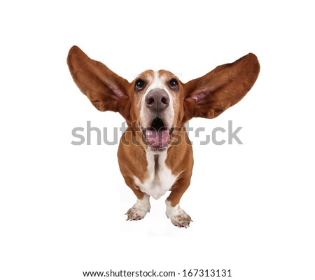 a basset hound on a white background - stock photo