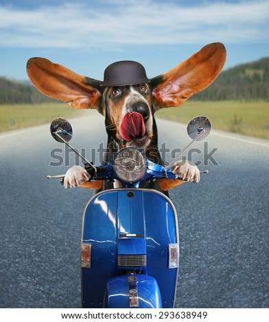 a basset hound riding on a scooter with his ears flapping and his tongue licking his nose on a highway background - stock photo