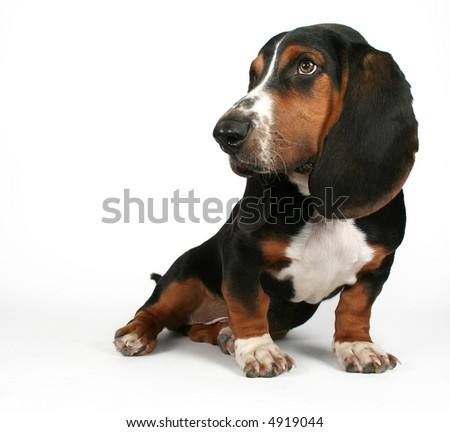 a basset hound sitting down - stock photo
