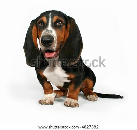 a basset hound sitting down on a white background - stock photo