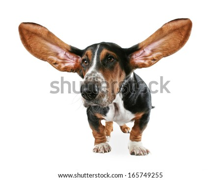 a basset hound with big ears - stock photo