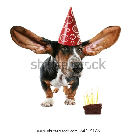 a basset hound with big ears and cake - stock photo