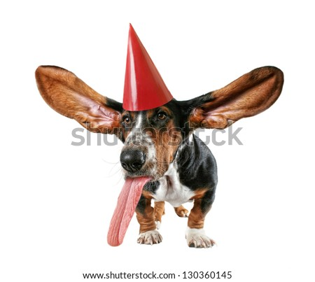 a basset hound with big ears with a birthday hat on - stock photo