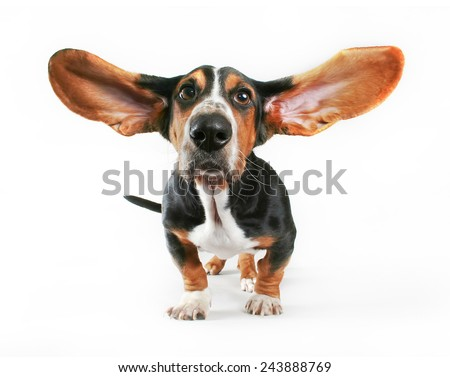 a basset hound with his ears flying away isolated on a white background - stock photo