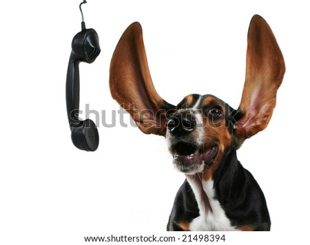 a basset hound with long flapping ears - stock photo