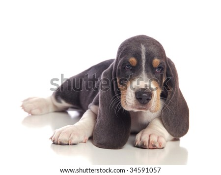 A Basset puppy lying down. - stock photo