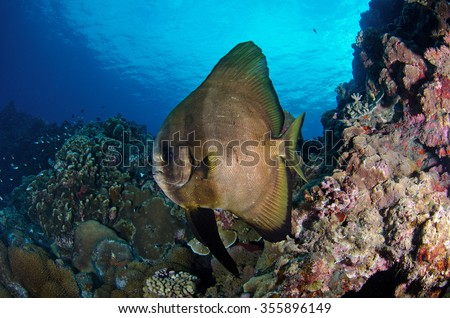 A batfish cruises along the reef of the marine reserve of Reunion Island in the Indian Ocean - stock photo