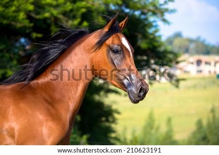 A bay arabian horse portrait - stock photo