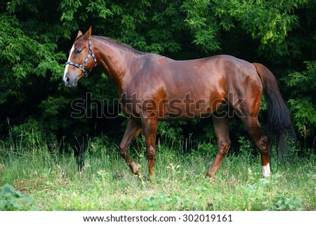 A bay horse in a forest - stock photo