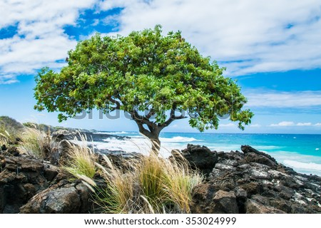 A Beach Heliotrope Tree (Heliotropium foertherianum), along the shore of lava rock near Kailua Kona, on the Big Island of Hawaii.  Not native to Hawaii, these trees were introduced in modern times. - stock photo