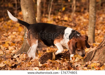 A beagle hunting in the forest. - stock photo