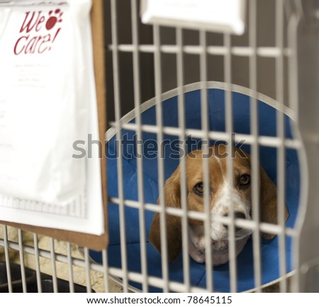 a beagle recuperating at a vet's hospital - stock photo