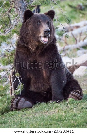 A bear scratches his back on a tree - stock photo