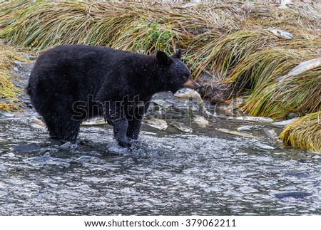 A bear stands amidst migrating pink salmon for an easy feast