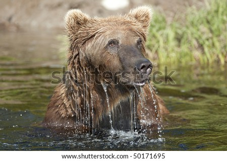 A bear surfaces after snorkeling for salmon. - stock photo