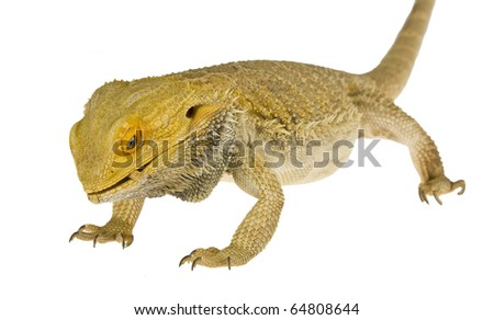 Lizards Eat Worms a Bearded Dragon Eating a Worm