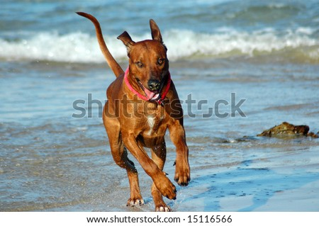 A beautiful active African male Rhodesian Ridgeback hound dog with cute expression in the face playing wild by jumping and running fast in the sea on the beach - stock photo