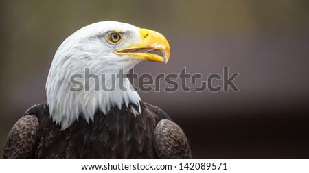 A beautiful American Bald Eagle as it searches for prey.