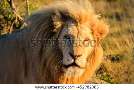 A beautiful and big lion walking by a african savanna on the background in one of the most famous safaris in South Africa.  - stock photo