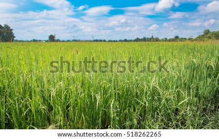 A beautiful and dramatic rice filed.Thailand.Rice filed background.