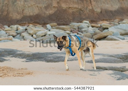 A Beautiful and funny German Sheppard playing and running on the beach