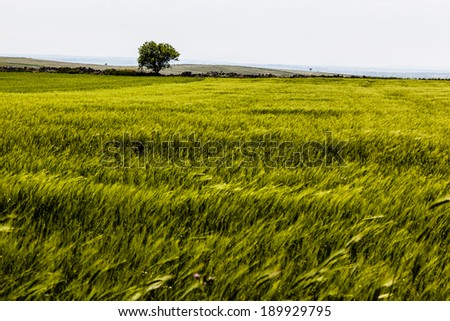 a beautiful and vibrant green crop in south italy - stock photo