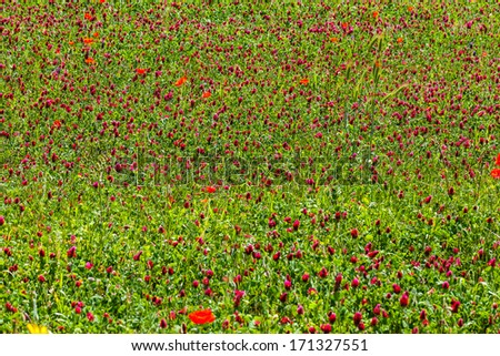 a beautiful and vibrant poppy field with gorgeous red poppies