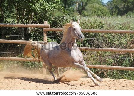 A beautiful arabian horse runs wild - stock photo