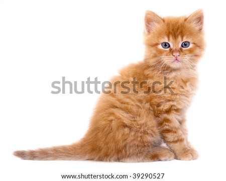 A beautiful baby cat photographed in studio - stock photo