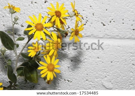 a beautiful background of large wild yellow flowers in full bloom against a white wall