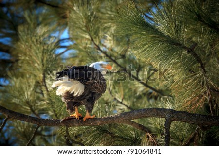 A beautiful bald eagle is perched on a branch near Coeur d'Alene, Idaho.