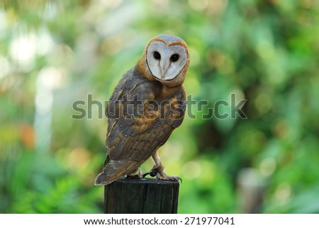 A beautiful barn owl perched on a tree stump. - stock photo