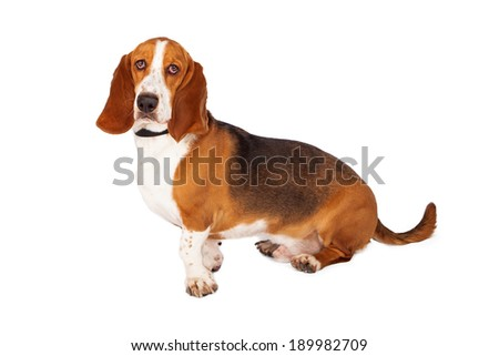 A beautiful Basset Hound dog sitting off to the side and looking at the camera - stock photo
