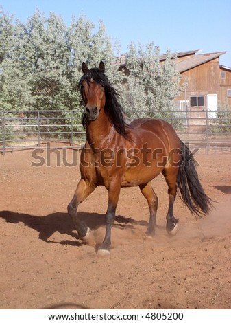 a beautiful bay horse with lots of black mane and tail trotting - stock photo