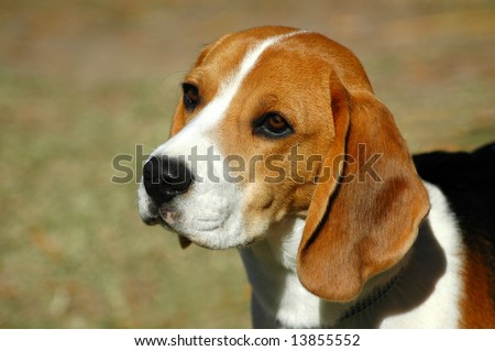 A beautiful Beagle hound dog head portrait with cute expression in the face watching other dogs in the park outdoors - stock photo