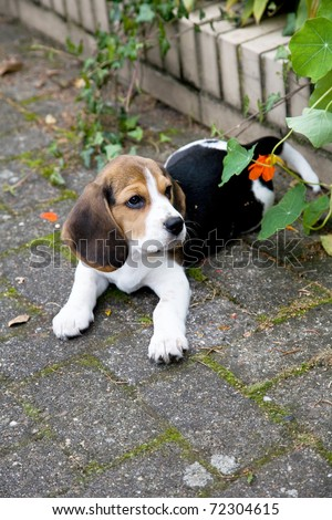 A beautiful Beagle Puppy At Park - stock photo