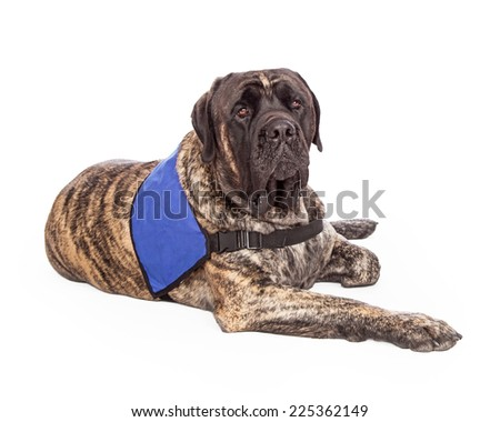 A beautiful big English Mastiff with a brindle coat wearing a blank blue vest to show that he is a service or a therapy dog.  - stock photo