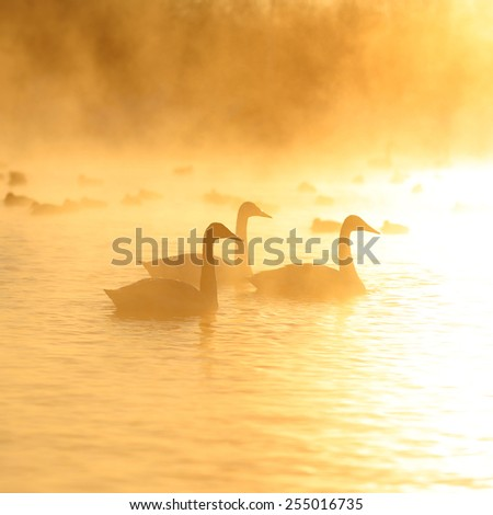 A beautiful big group of swans flying over a winter lake on a sunset, Altai mountains, Siberia, Russia.  - stock photo