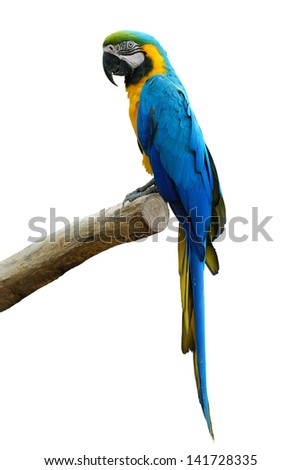 A beautiful bird Blue and Gold Macaw isolate on white background. - stock photo