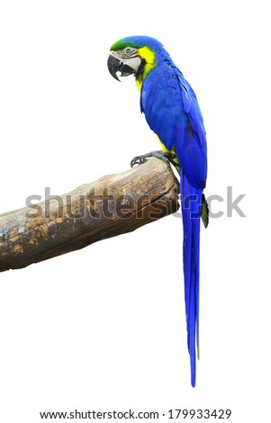 A beautiful bird Blue Macaw isolate on white background.