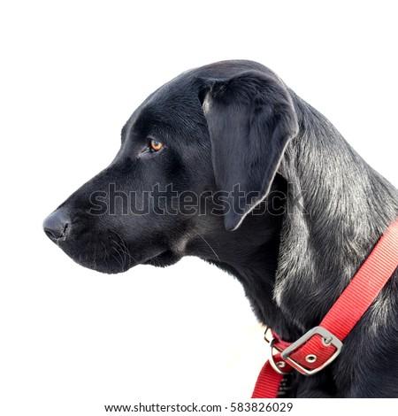 Black Dog Red Collar Logo
