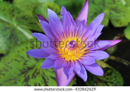 A beautiful blooming of purple water lily - stock photo
