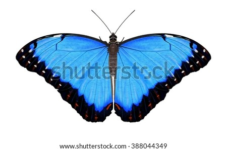 A beautiful Blue Morpho butterfly (Morpho peleides) isolated on a white background illustrated by Steven Russell Smith. - stock photo