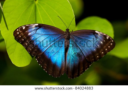 A beautiful blue morpho butterfly perched on a leaf. - stock photo